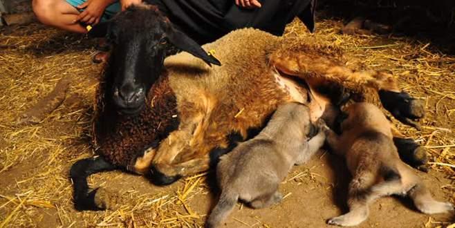 Kangal yavrularına koyun 'annelik' yapıyor