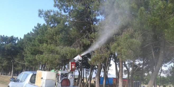 Orhangazi'de çam ağaçları ilaçlanıyor