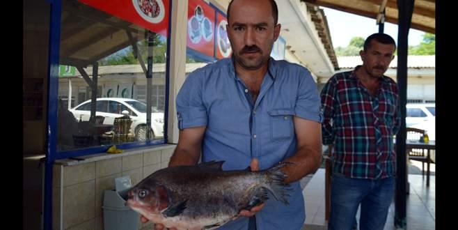 Bursalı balıkçıları şaşkına çeviren balık!