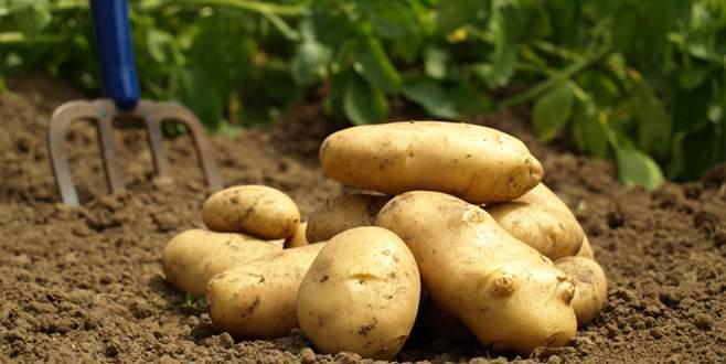 'Turizm cenneti' patates üretiminde de iddialı