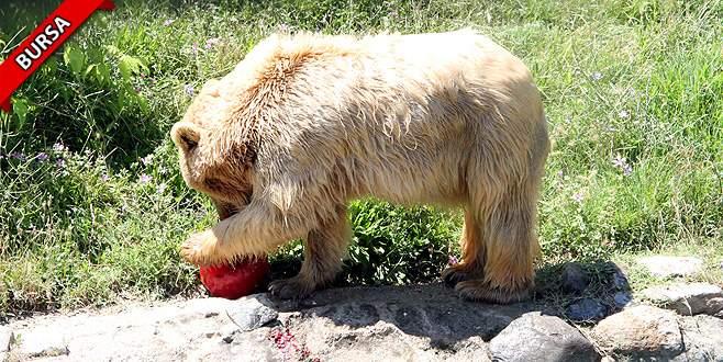 Sıcaktan bunalan ayılar, meyve dondurması ile serinliyor