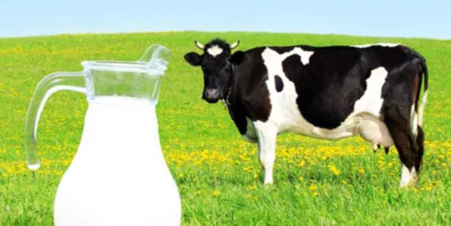 'Serinletilen ineklerin süt verimi artıyor'