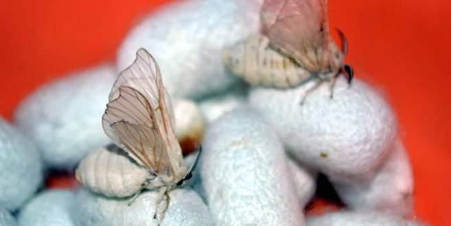 'Bilecik bezi' üretimi ipek böcekçilikle canlandırılacak