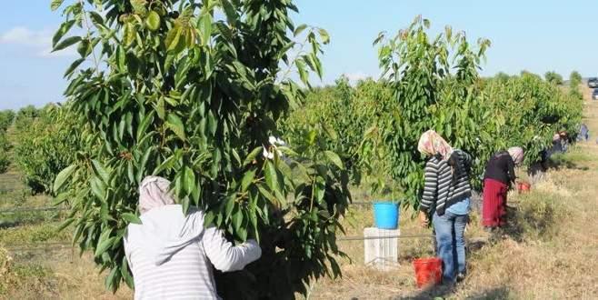 'Devasa' meyve bahçesinde kiraz hasadı
