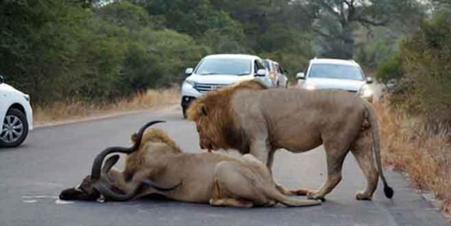 Aslanlar trafikte antilop parçaladı