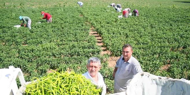 Yenişehir biberinde hasat başladı