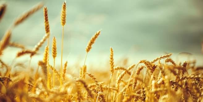 Buğday üretimi arttı