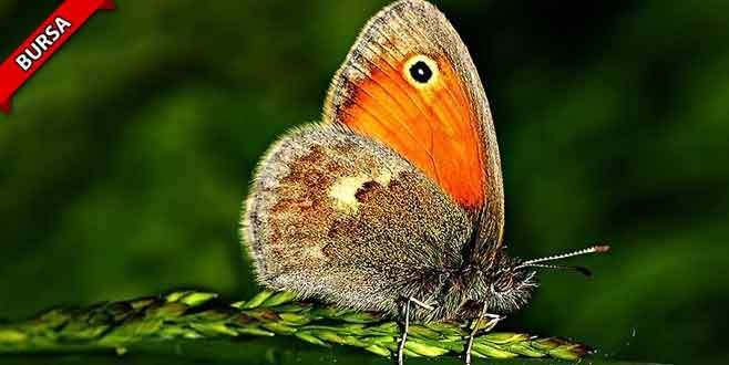 150 milyon yıllık kelebek yok olma tehlikesiyle karşı karşıya