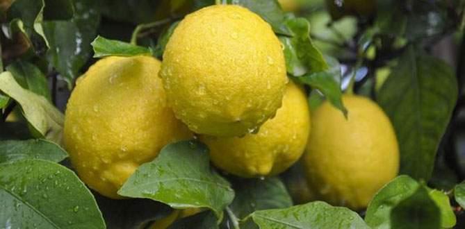 Limon cep yaktı