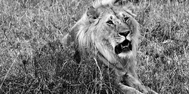 İkinci 'kaçak aslan avı' vakası