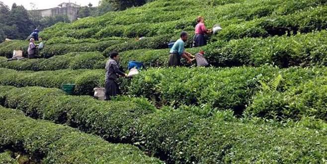 'Organik çayda avantajımız var'