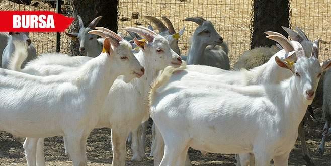 Üniversitenin kurbanlık keçilerine ilgi büyük