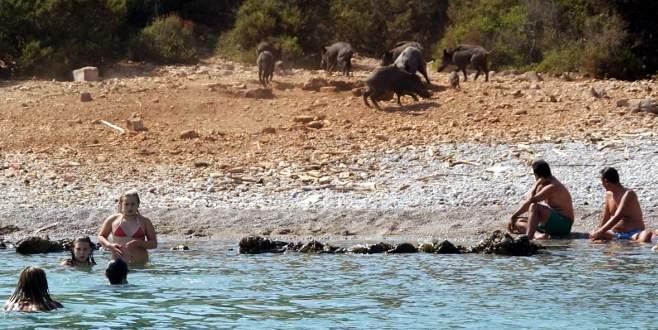 Domuz sürüsü sahile indi