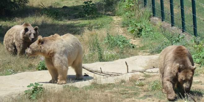 Dansçı ayıların sayısı azalıyor