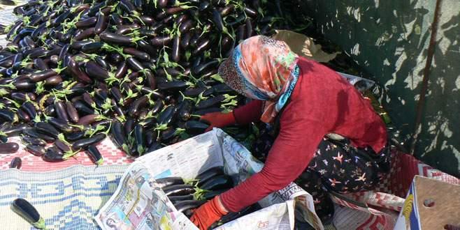 Patlıcan üreticisi memnun