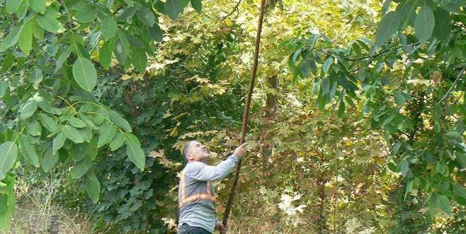 Orhangazi'de ceviz ağacına ilgi artıyor
