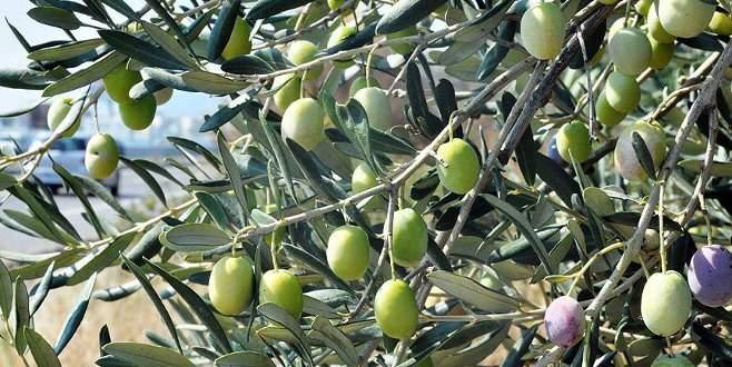 Sofralara zeytinyağı güneydeki illerden gelecek
