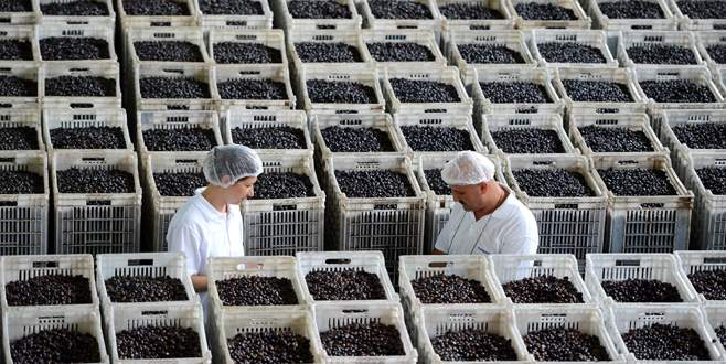 Zeytin üreticisine kritik uyarı