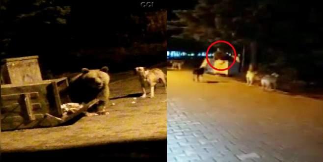 Yerleşime inen ayıyı 5 köpek…