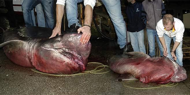 Kurşunlu açıklarında 4 metrelik köpek balığı yakalandı