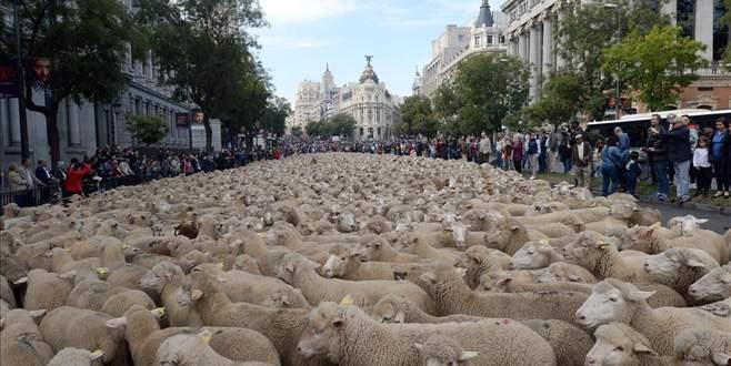 2 bin koyun şehrin merkezine indi