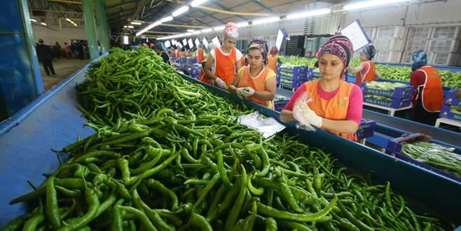 Yenişehir 65 bin ton biber üretimi yaptı