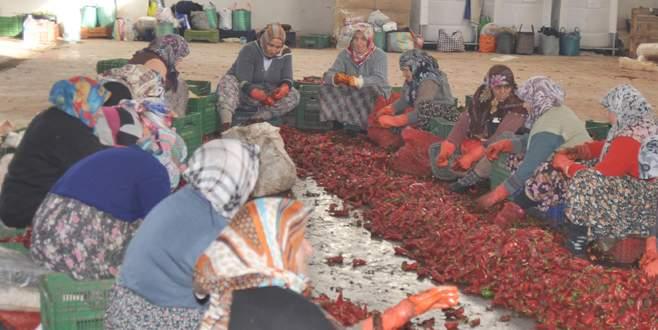 Kulaca'da ihracat 300 tona ulaştı