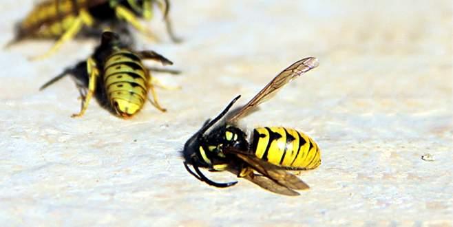 Aç kalan eşek arıları, binlerce bal arısını telef etti