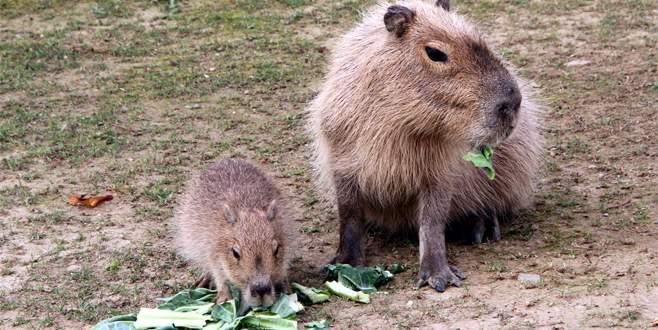 Kapibara Cunyor, Bursa'nın maskotu oldu