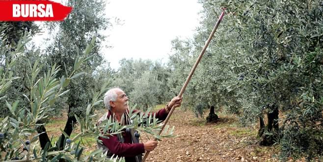 Zeytinyağı üreticisine destek