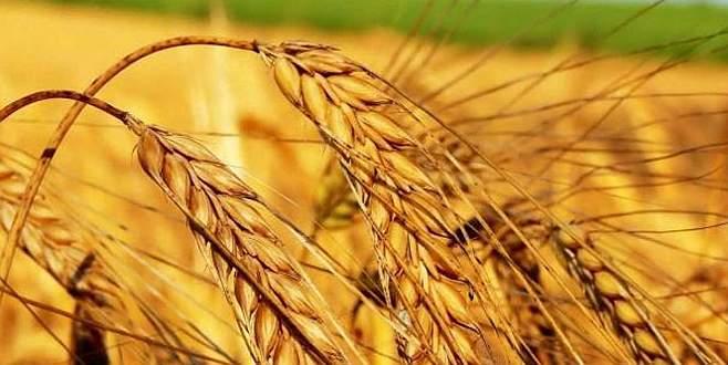 Buğdayda 30 milyon ton üretim hayal değil