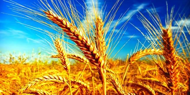 Buğdayda Rusya'ya mahkum değiliz