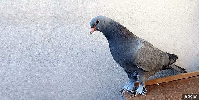 Bursa'da 12 bin liralık güvercin hırsızlığı