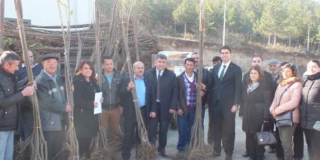 Büyükorhan'da 35 üreticiye kestane fidanı