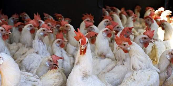 Tavuklar tavuk, balıklar balık eti yemeye devam edecek