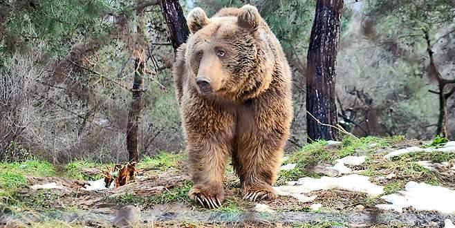 Bursa'da ayılar kış uykusunu unuttu
