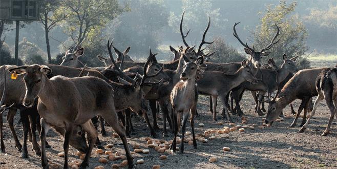 Uludağ Üniversitesi geyik üretip dört bir yana gönderiyor