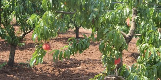Şeftali ağaçlarında hastalık uyarısı