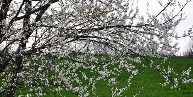 Bursa'da yalancı bahar