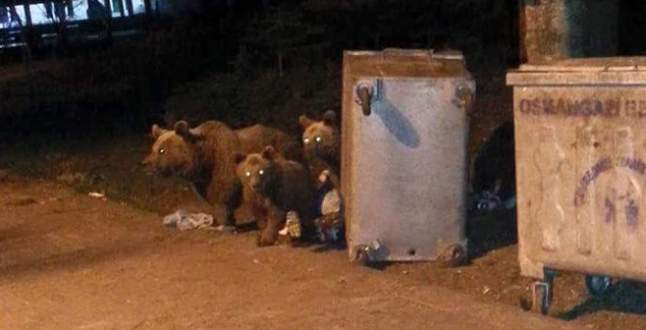 Bursa'da aç kalan ayılar çöplere dadandı