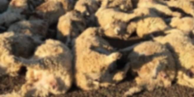 116 koyun stresten öldü