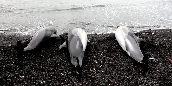 3 yunus ölüsü sahile vurdu