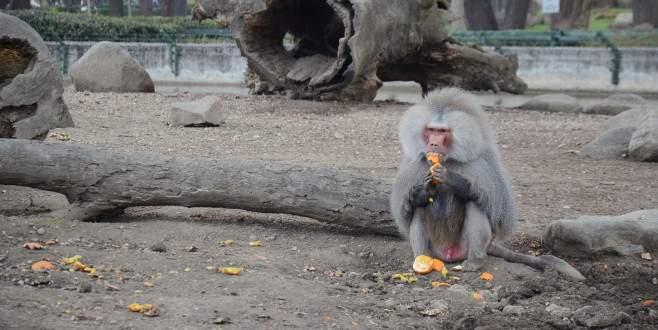 Bursa'da maymunlar işbaşında