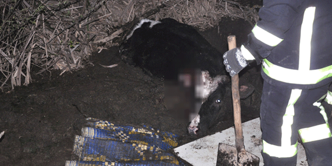 Bursa'da inek kurtarma operasyonu