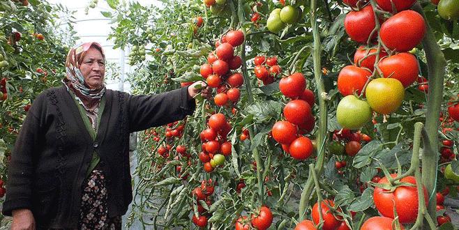 Salkım domates kazandırıyor