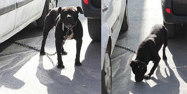 3 kişiye birden saldıran pitbull dehşet saçtı