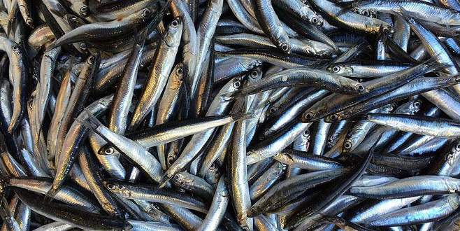 Karadeniz'de yaklaşık 400 bin ton hamsi avlandı