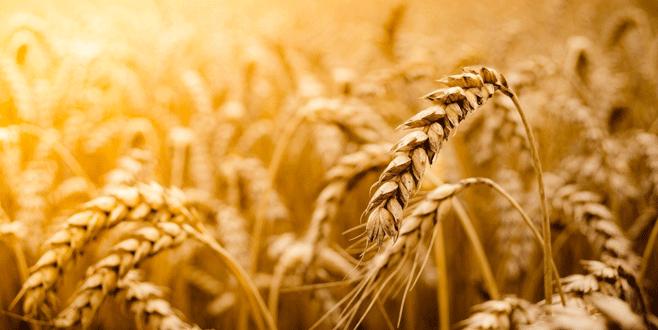Buğdayda düşüş beklentisi