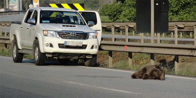 Trafik kazasında yaralanan yavru ayı tedavi altında