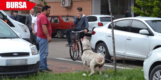Pitbull cinsi köpek dehşet saçtı